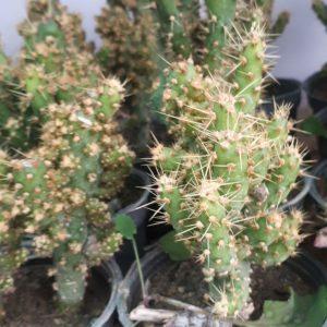 کاکتوس اپونتیا کاجی