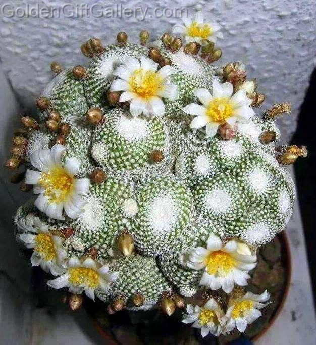کاکتوس (Blossfeldia liliputana)
