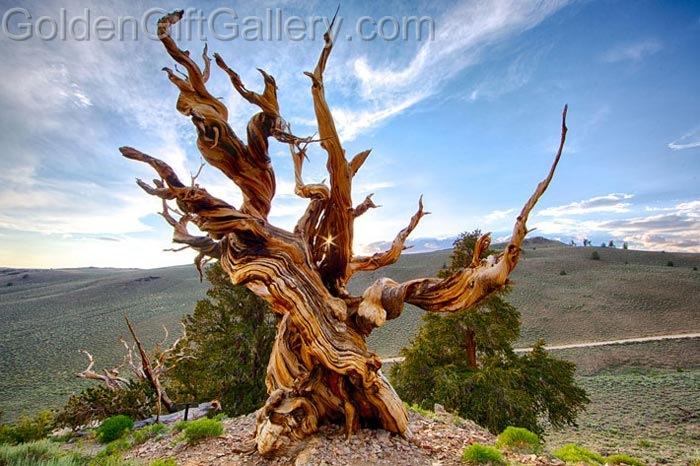 درخت متوسلاه