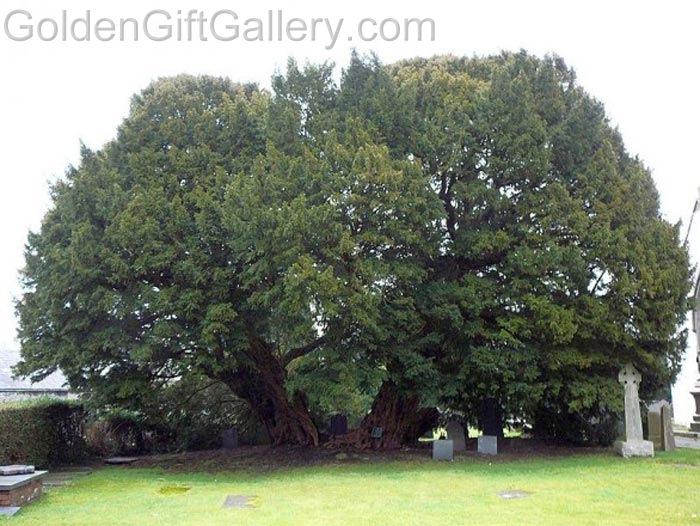 درخت سرخدار لانگرنیو