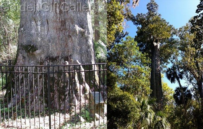درخت سناتور